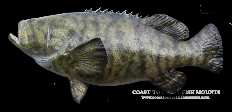 Goliath grouper fish mount and fish replicas coast to coast for Goliath grouper fish
