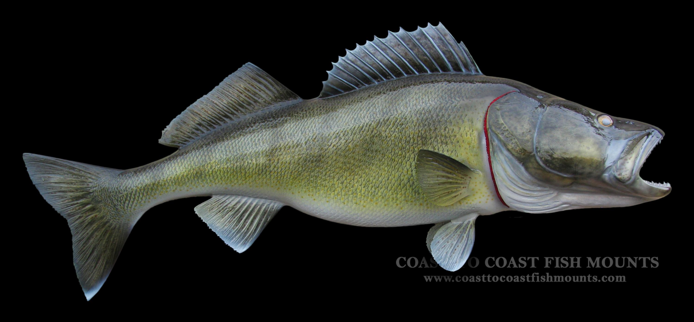 Walleye Fish Mount and Fish Replicas | Coast-to-Coast