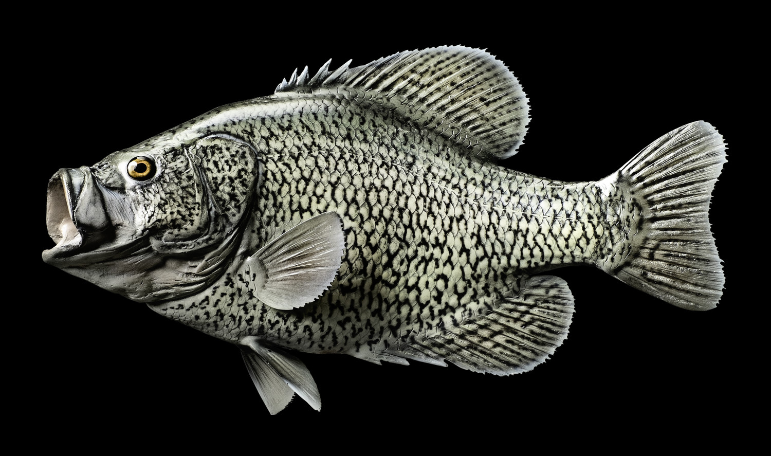 Calico bass crappie fish mount and fish replicas for Pictures of crappie fish