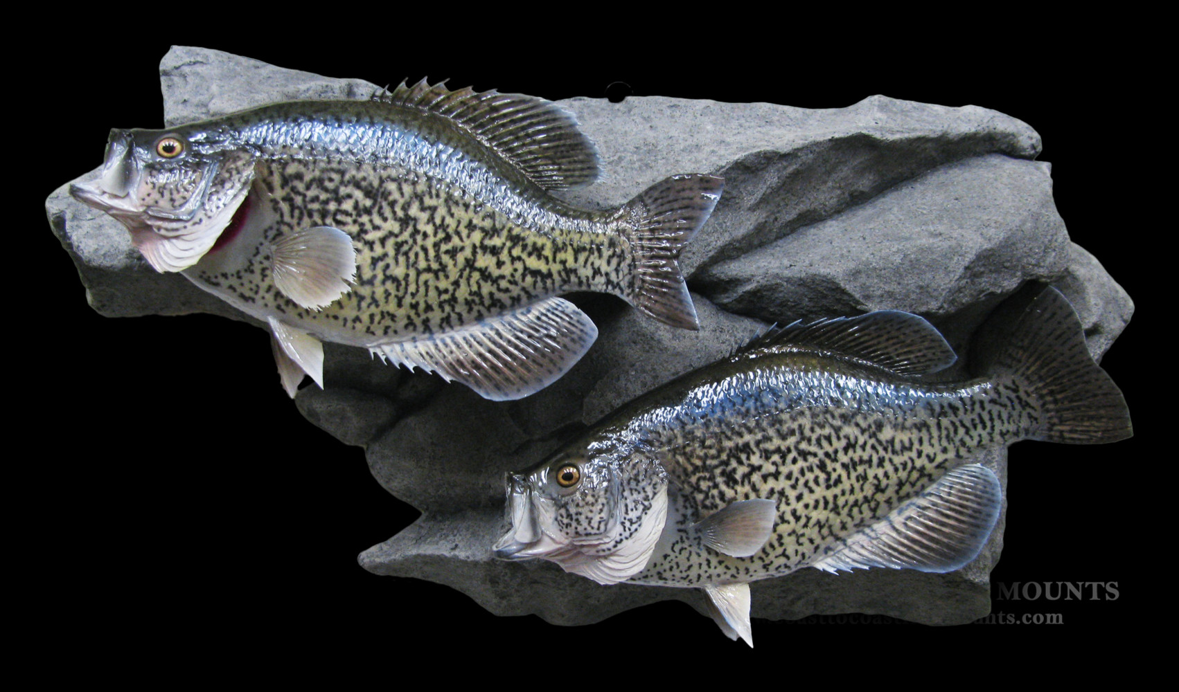 Calico bass crappie fish mount and fish replicas for Replica fish mounts