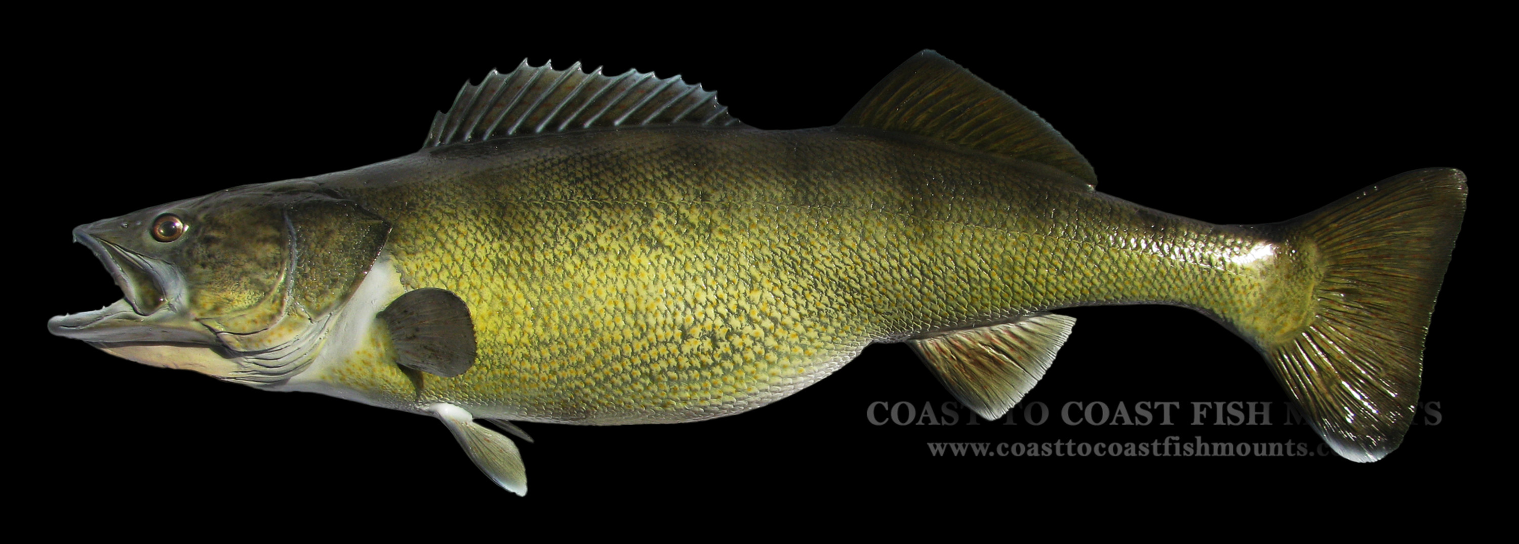 Walleye fish mount and fish replicas coast to coast for How to mount a fish