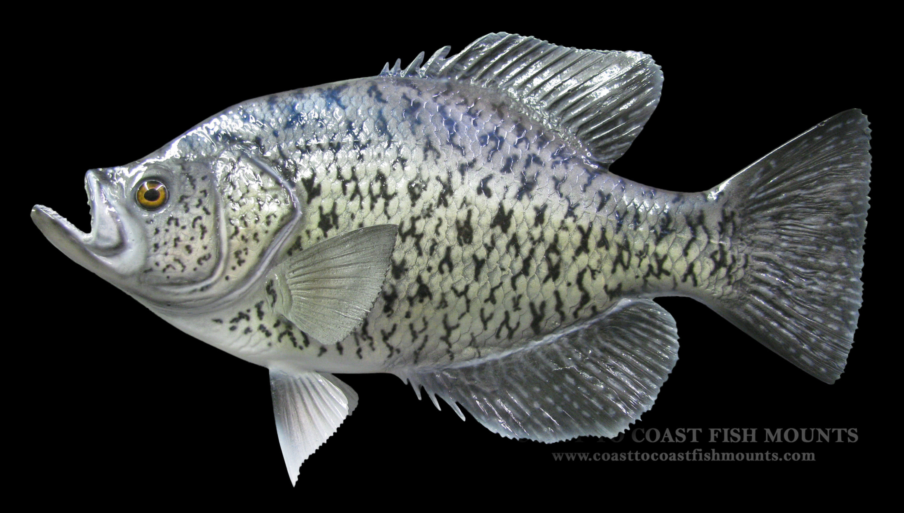 Calico bass crappie fish mount and fish replicas coast for Pictures of crappie fish