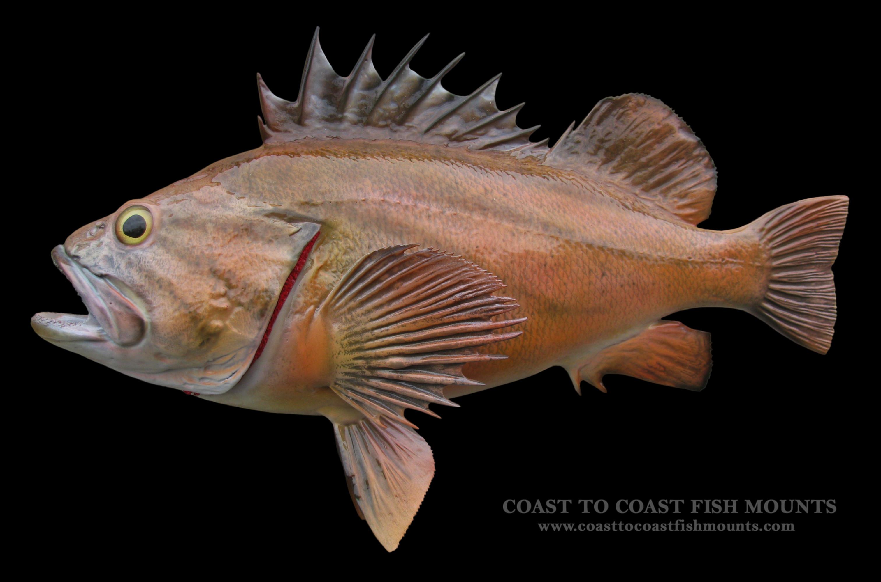 Rock Fish (Vermilion) Fish Mount and Fish Replicas | Coast-to-Coast