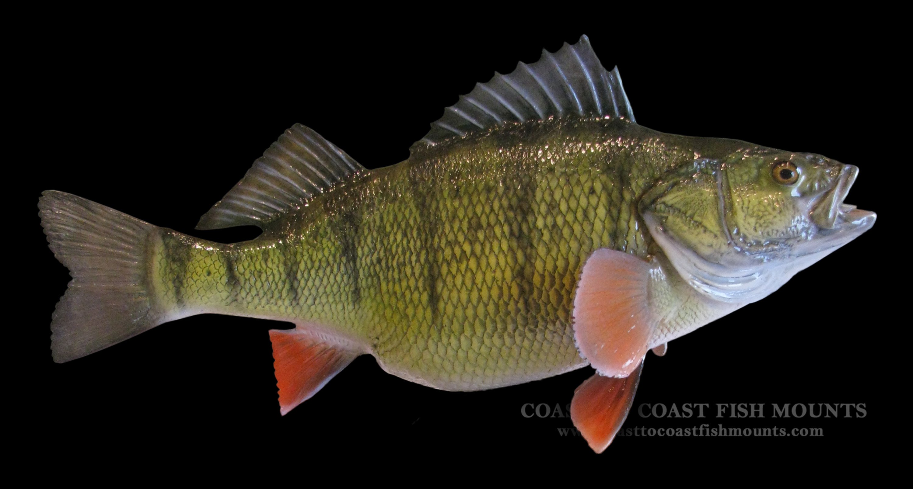 yellow perch fish mount and fish replicas coast to coast
