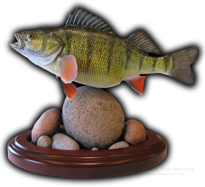 Yellow Perch Fish Mount and Fish Replicas | Coast-to-Coast
