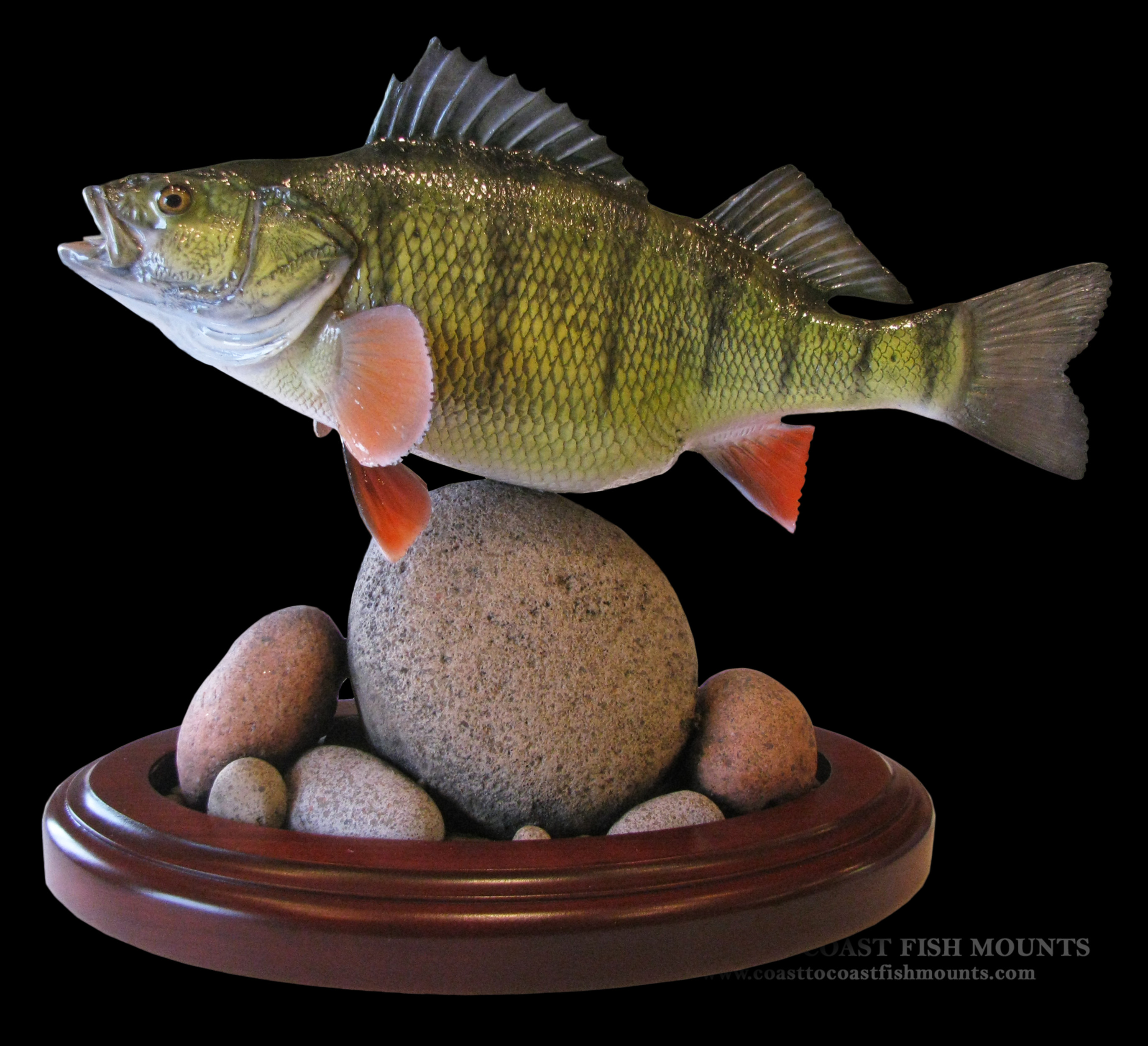Yellow perch fish mount and fish replicas coast to coast for How to taxidermy a fish
