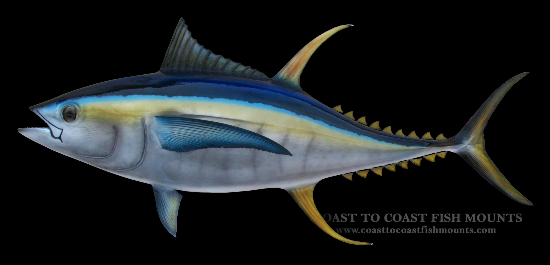 Yellowfin tuna fish mount and fish replicas coast to coast for Ahi tuna fish