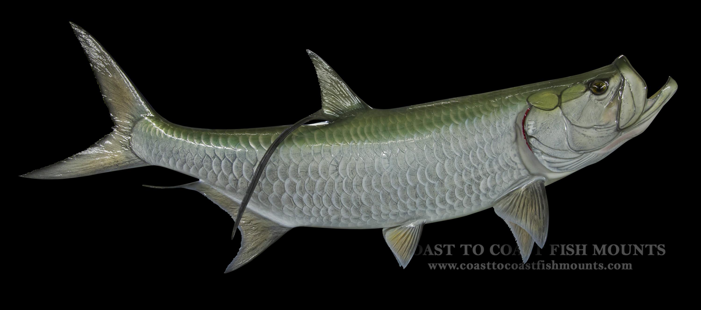 Tarpon Fish Mount and Fish Replicas | Coast-to-Coast