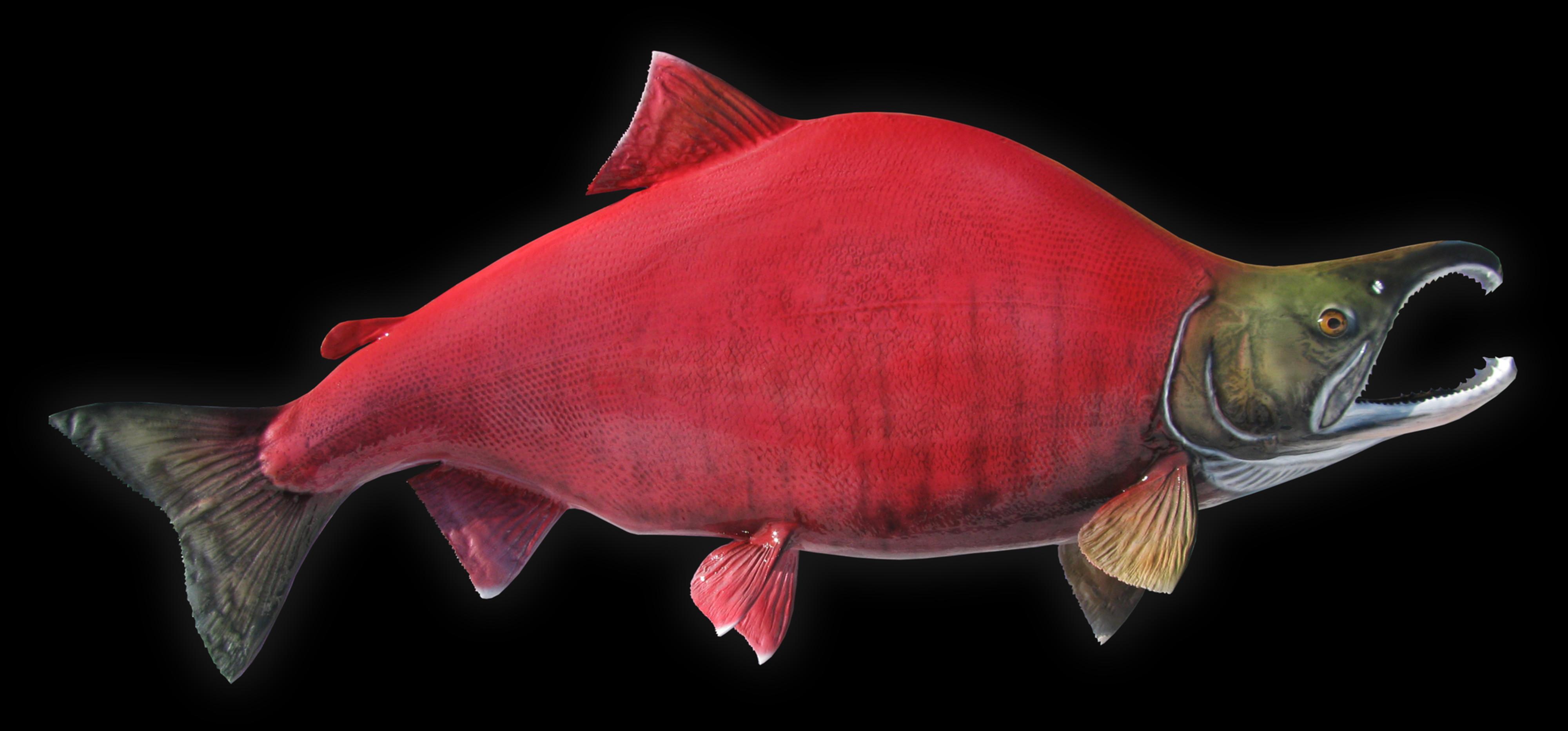 Red salmon fish - photo#17