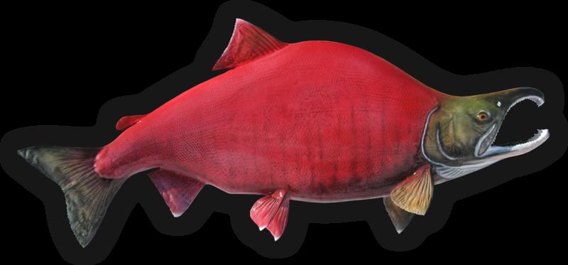 Red salmon fish - photo#44