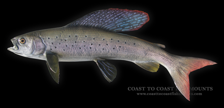 Arctic Grayling Fish Mount and Fish Replicas | Coast-to-Coast