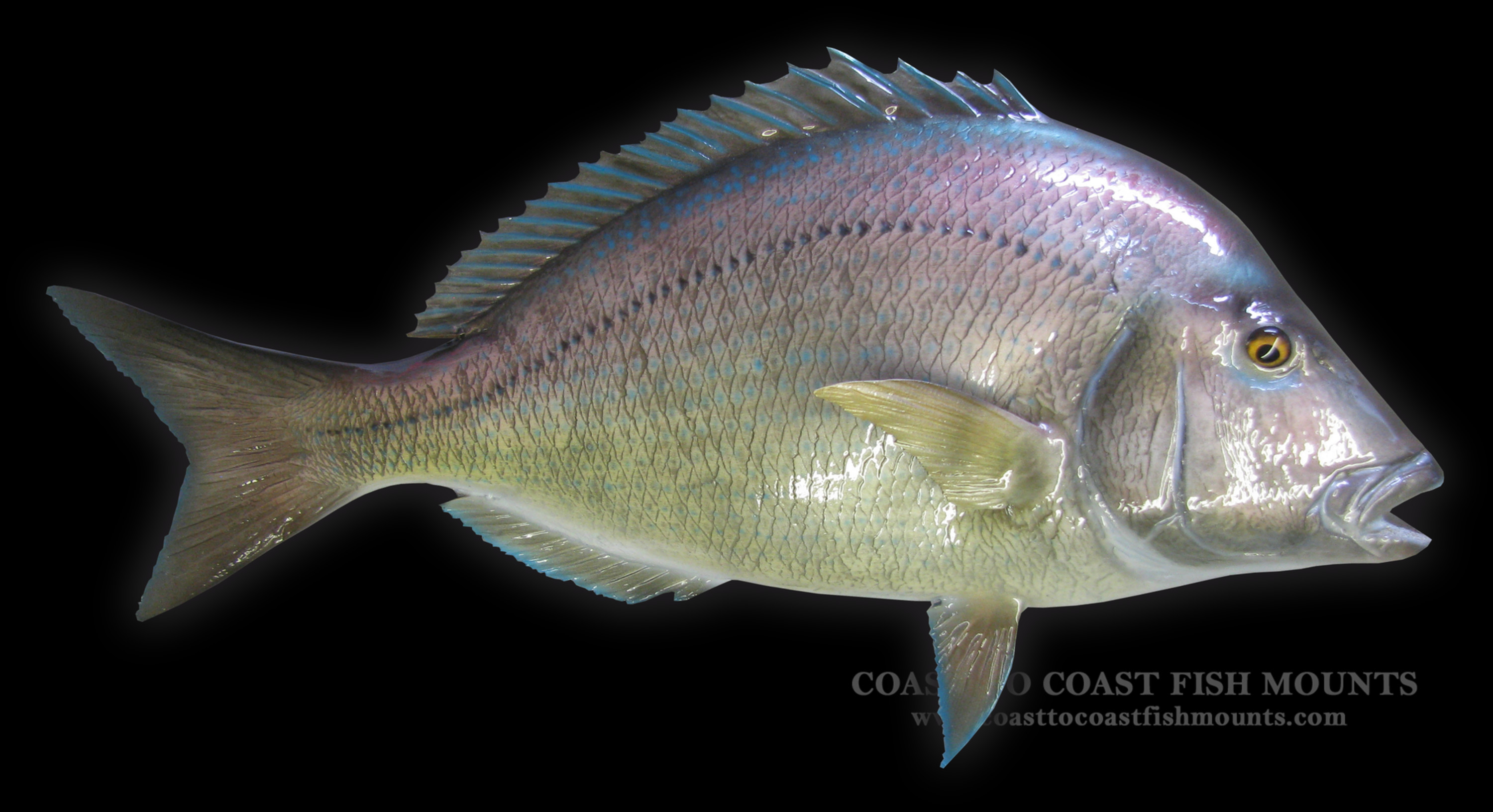 Porgy fish mount and fish replicas coast to coast for Fish is fish