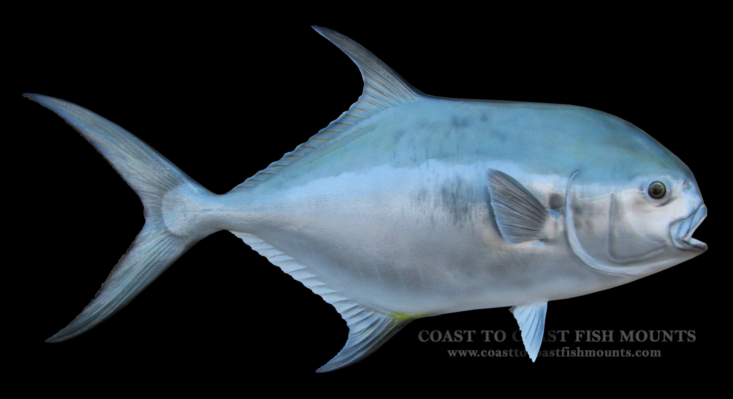 Permit fish mount and fish replicas coast to coast for Image of fish
