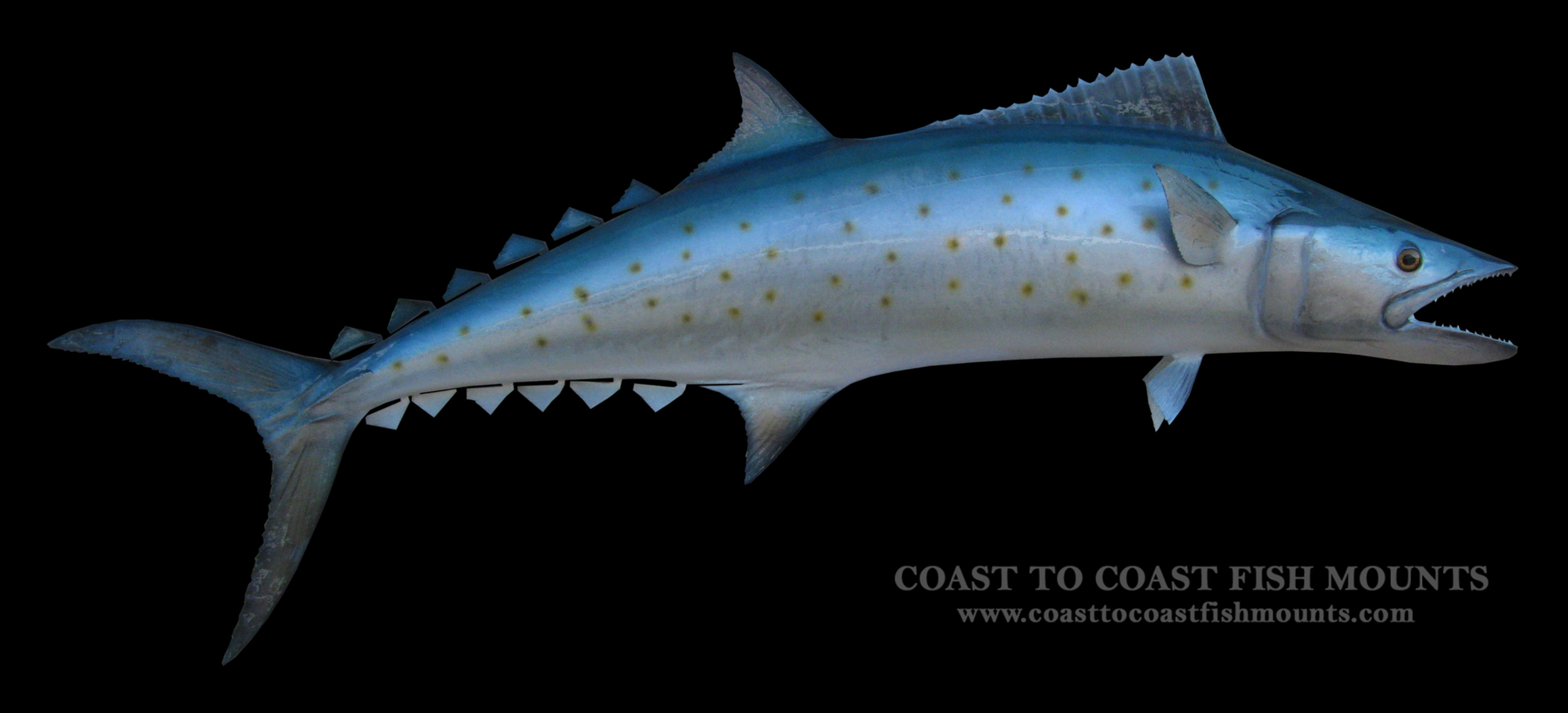 Spanish mackerel fish mount and fish replicas coast to coast for Spanish mackerel fish