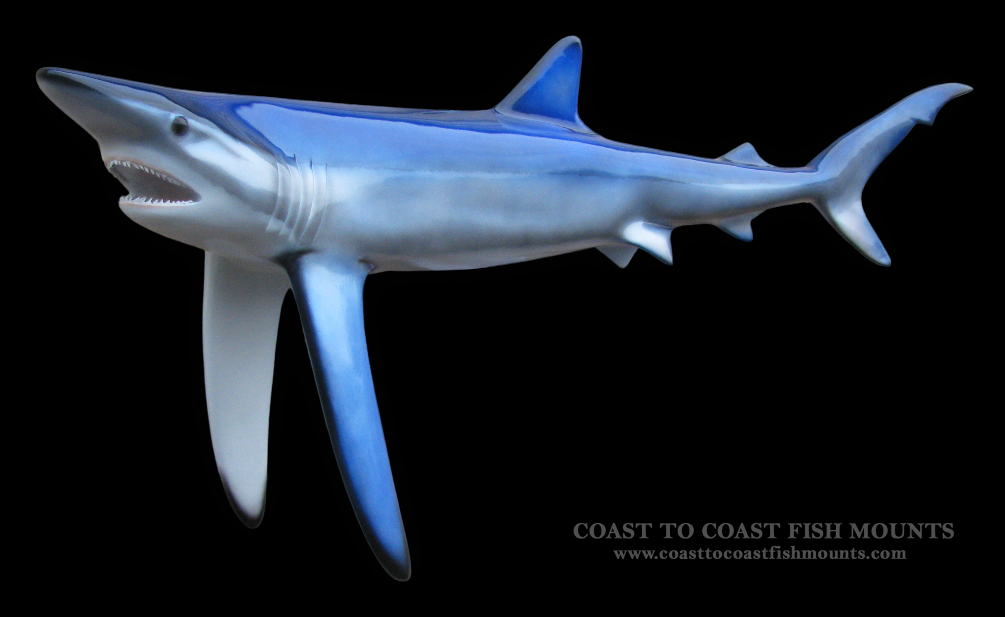 Blue shark fish mount and fish replicas coast to coast blue shark fish mount altavistaventures Images