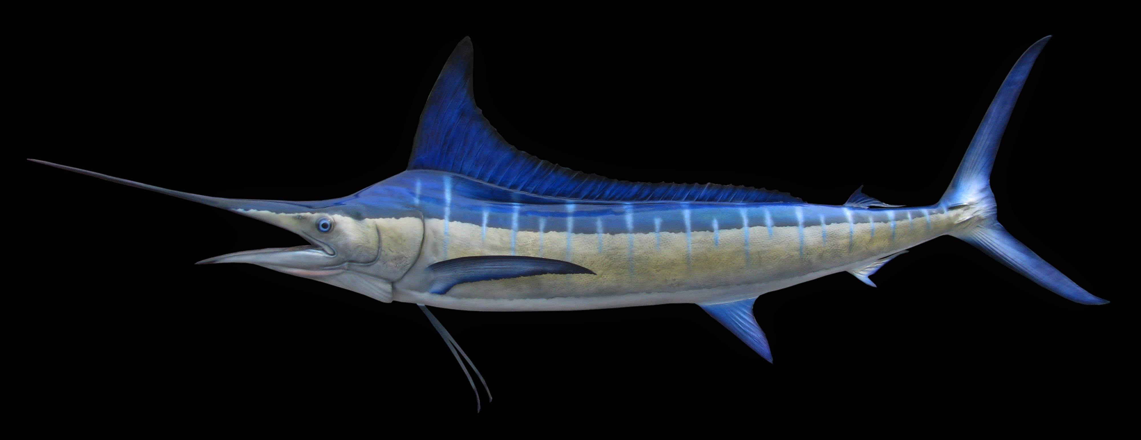 Striped Marlin Fish Mount and Fish Replicas | Coast-to-Coast