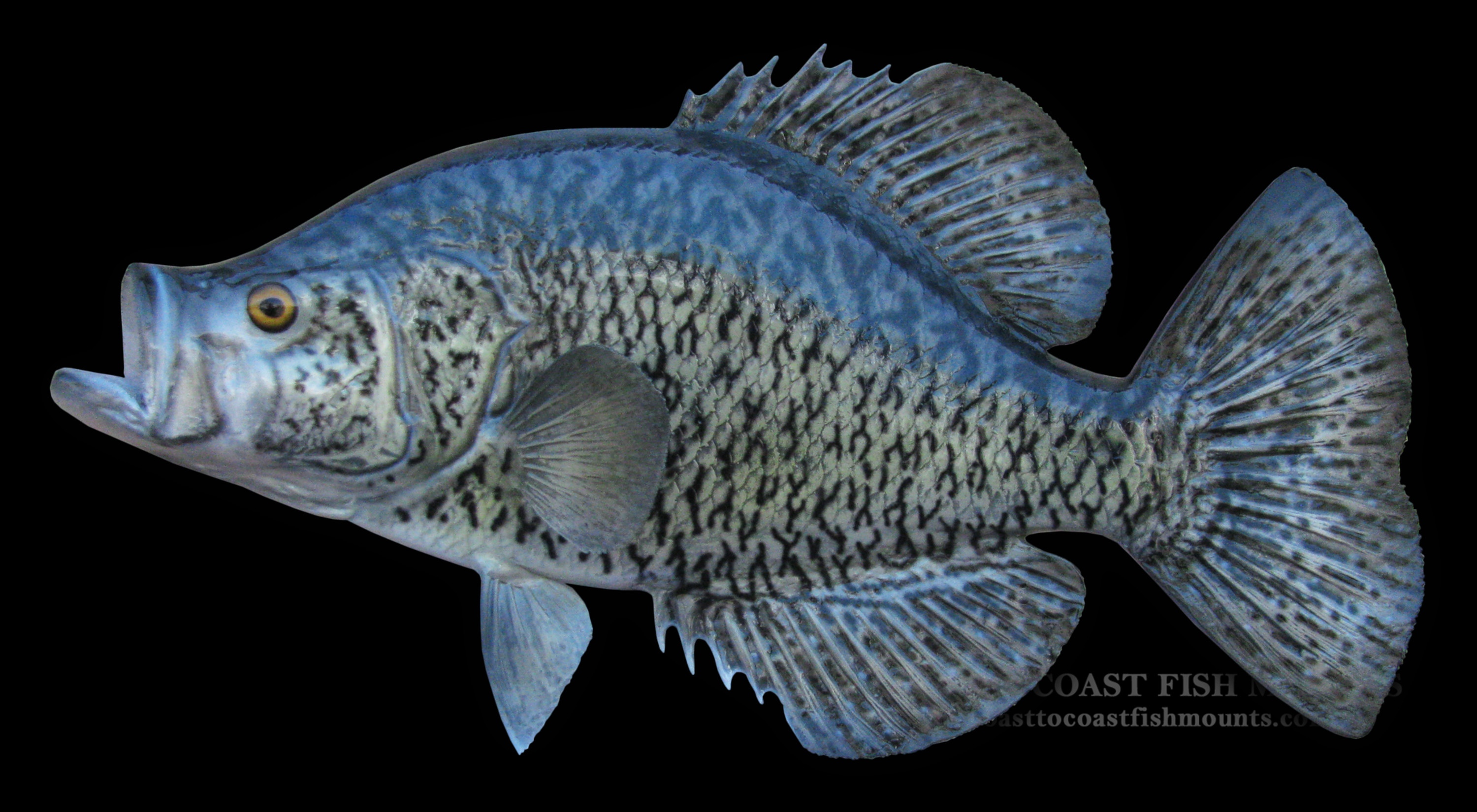 Calico bass crappie fish mount and fish replicas coast for What is a crappie fish