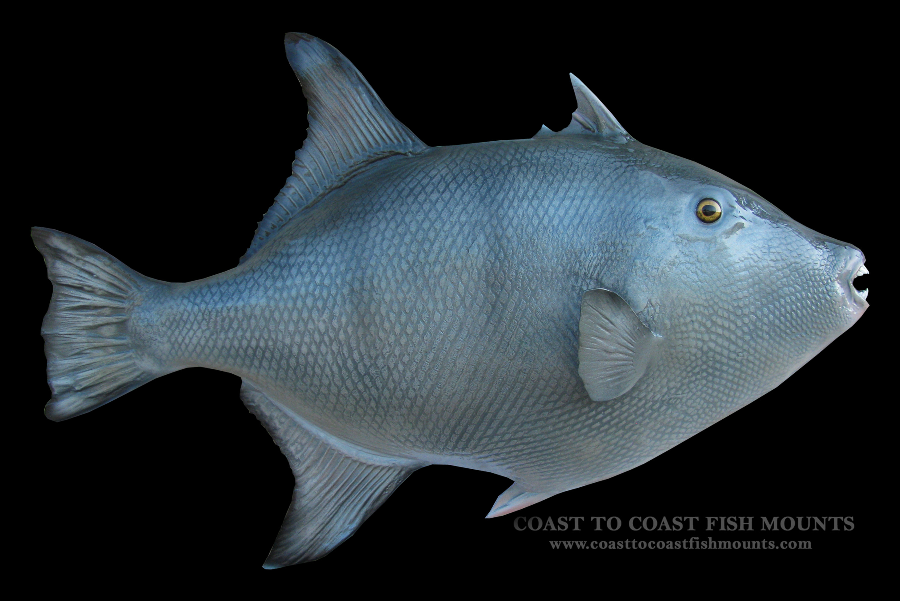 Grey trigger fish fish mount and fish replicas coast to for What fish is this