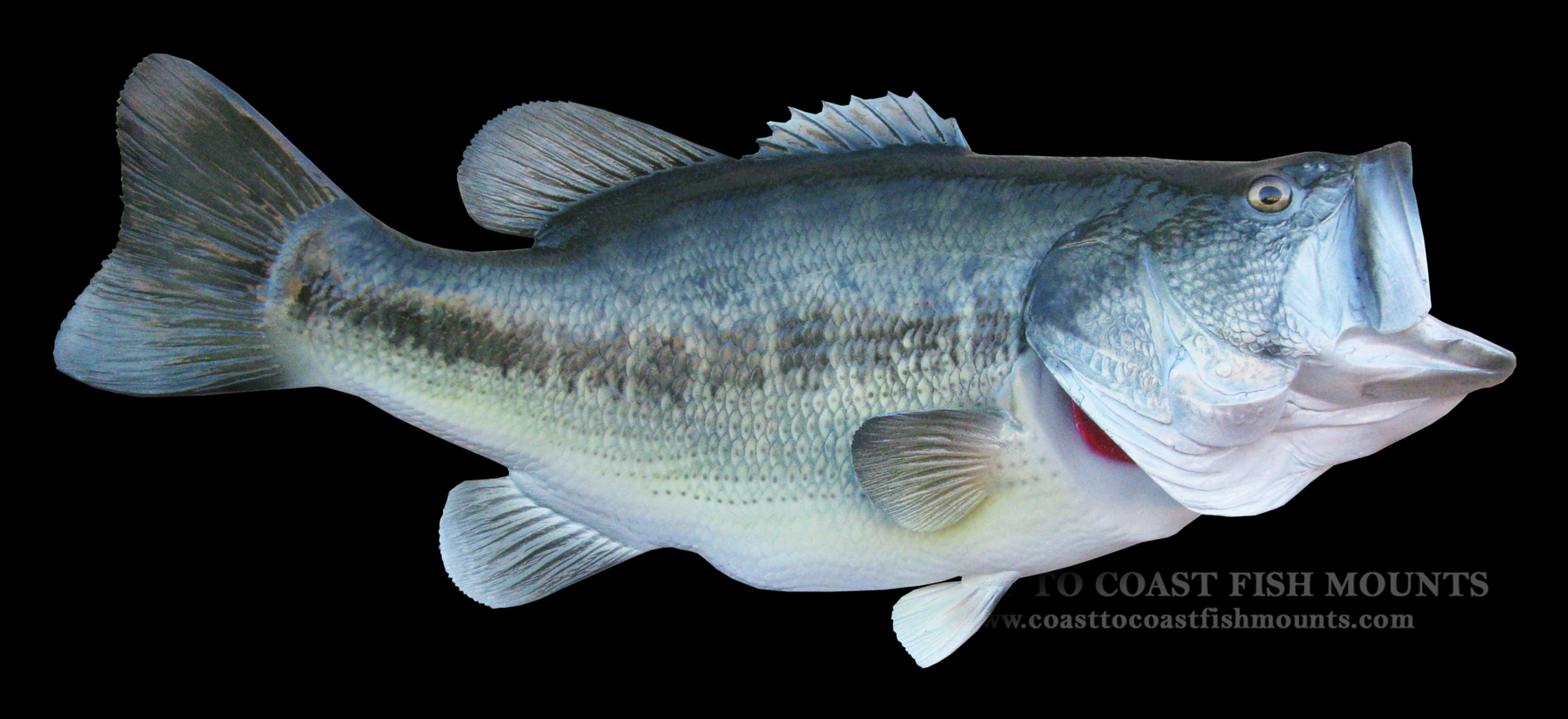 Largemouth bass fish mount and fish replicas coast to coast for Bass fish images