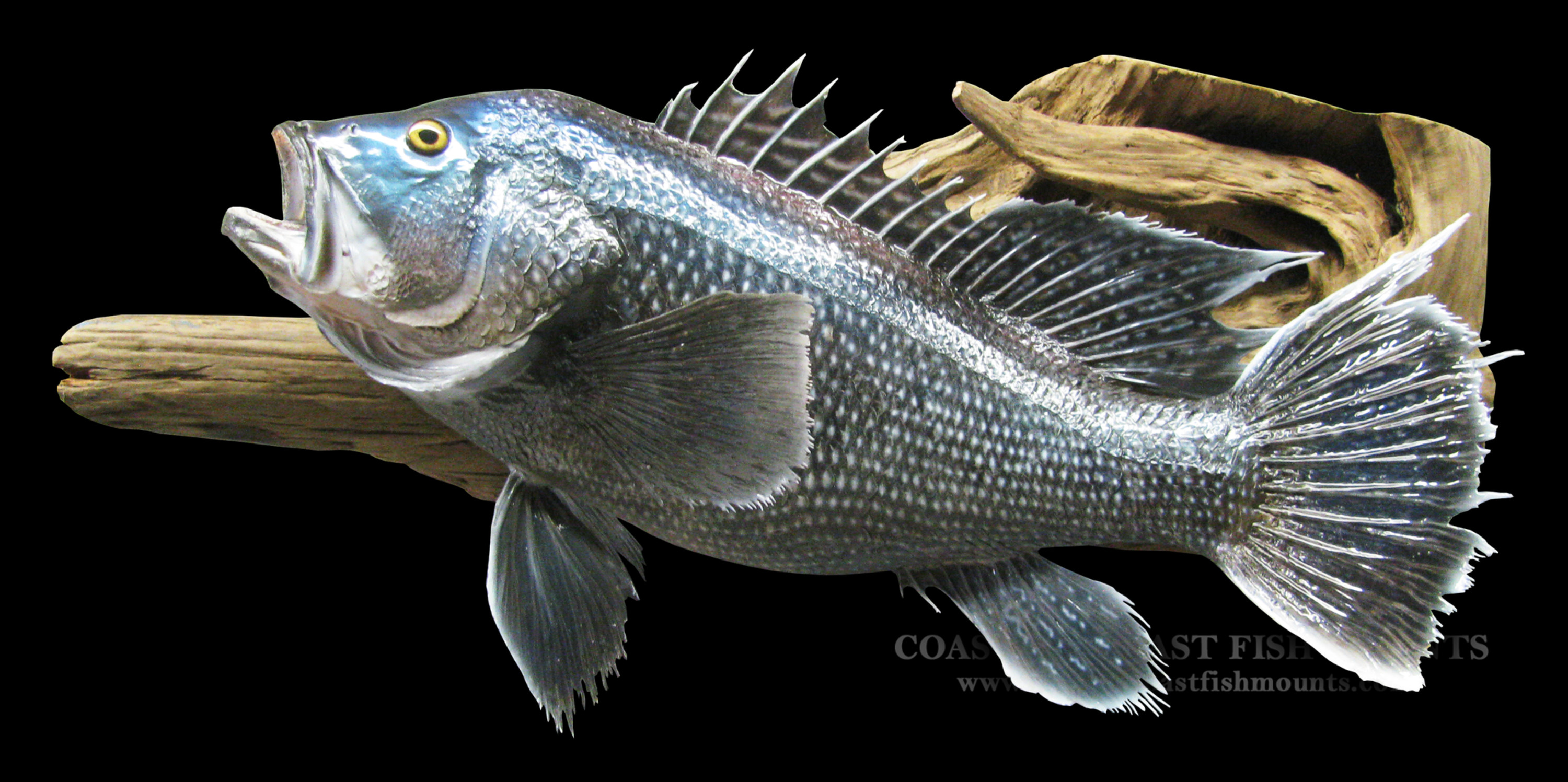 Sea bass fish mount and fish replicas coast to coast for Pictures of bass fish