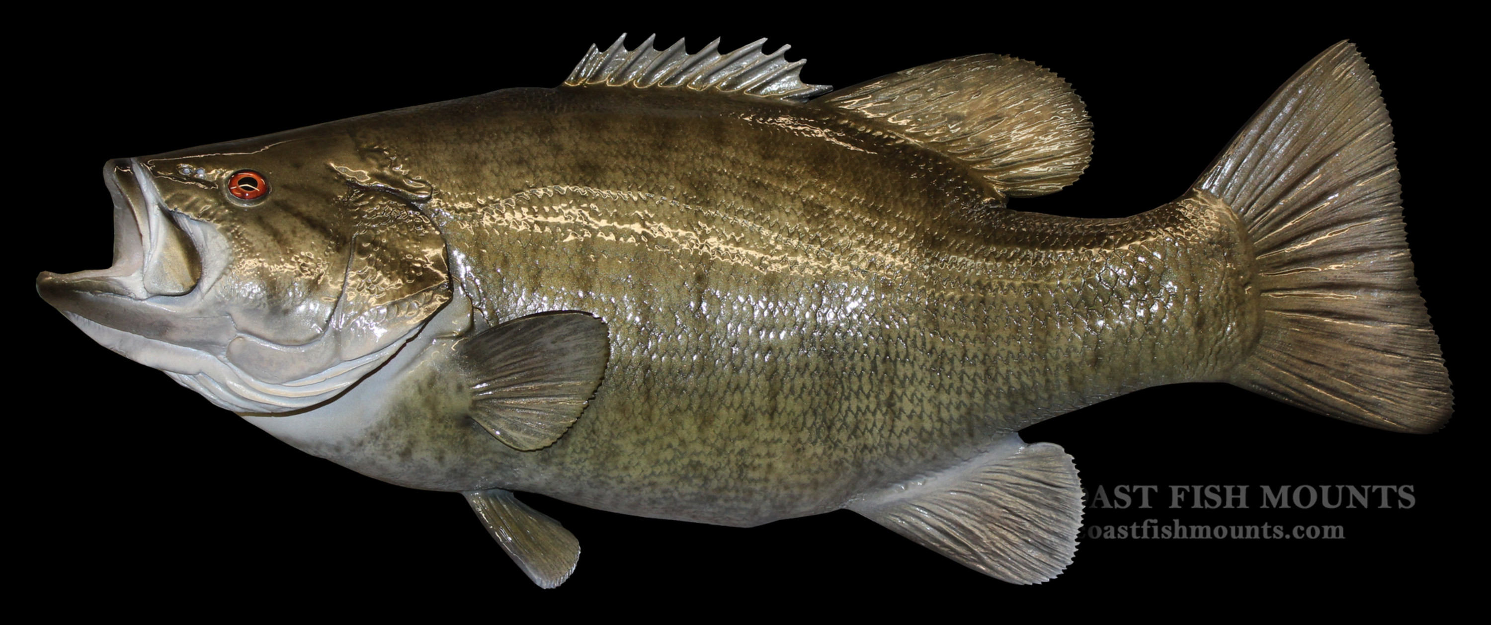 Smallmouth bass fish mount and fish replicas coast to coast for Bass fish pictures