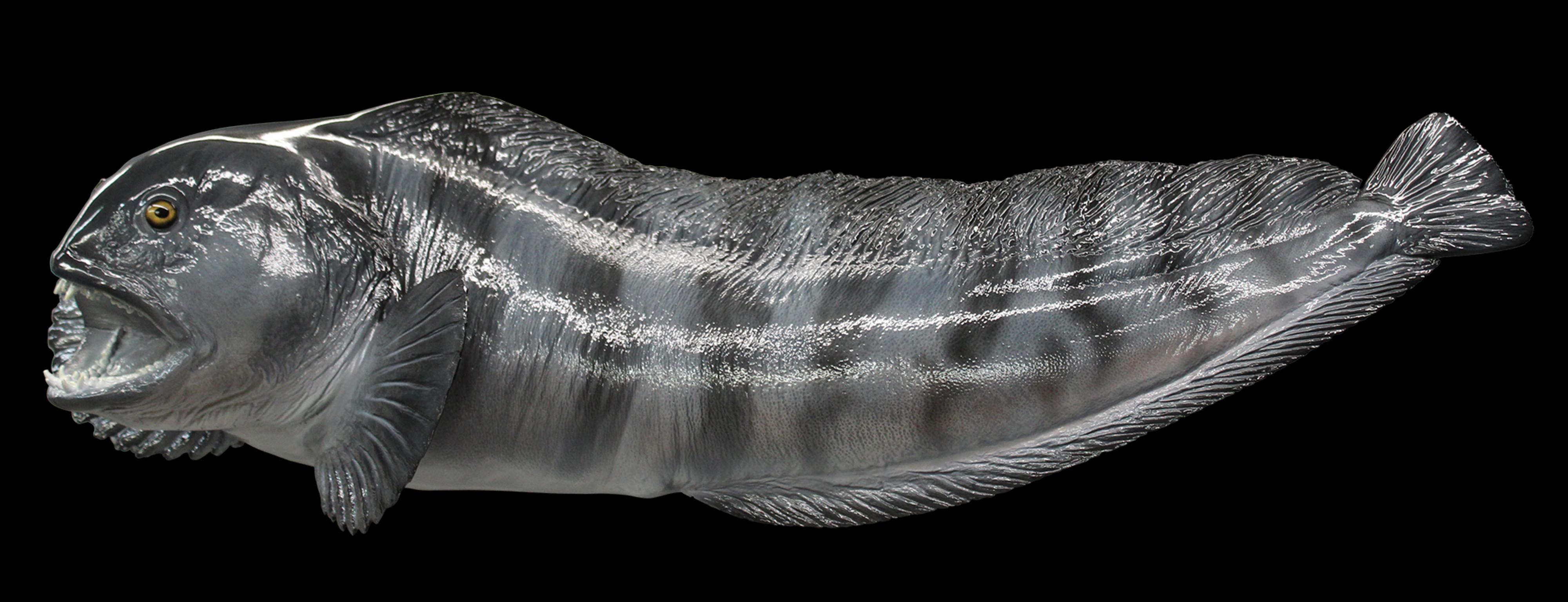 Wolfandfish