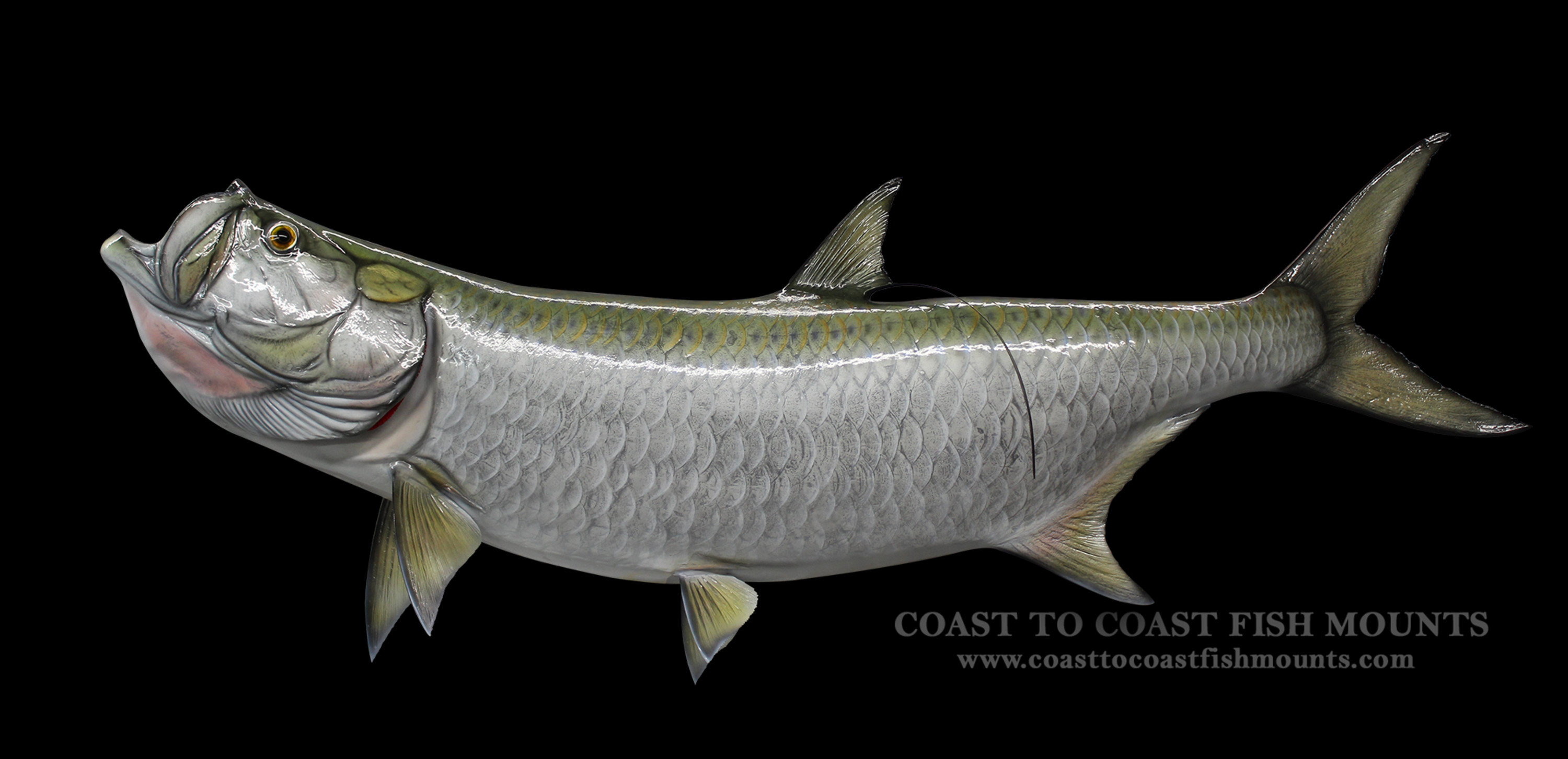 tarpon fish art quotes