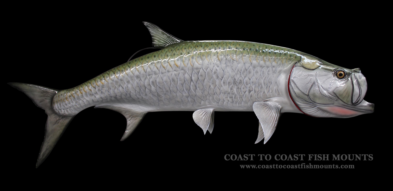 Tarpon fish mount and fish replicas coast to coast for Tarpon fish pictures