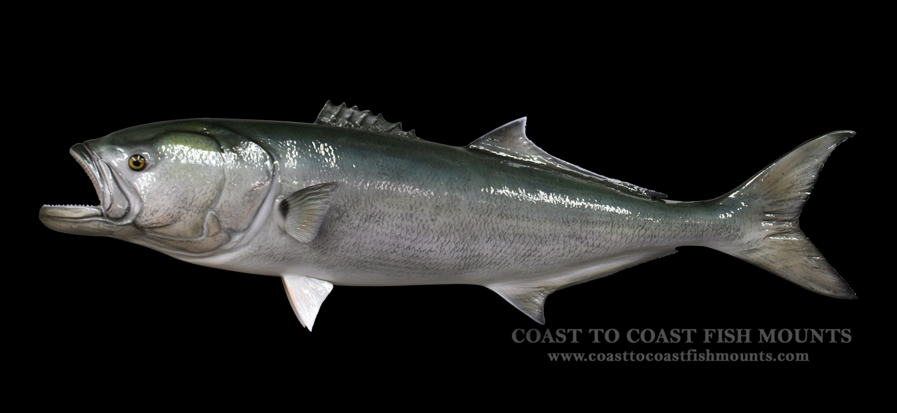 Bluefish fish mount and fish replicas coast to coast for Replica fish mounts