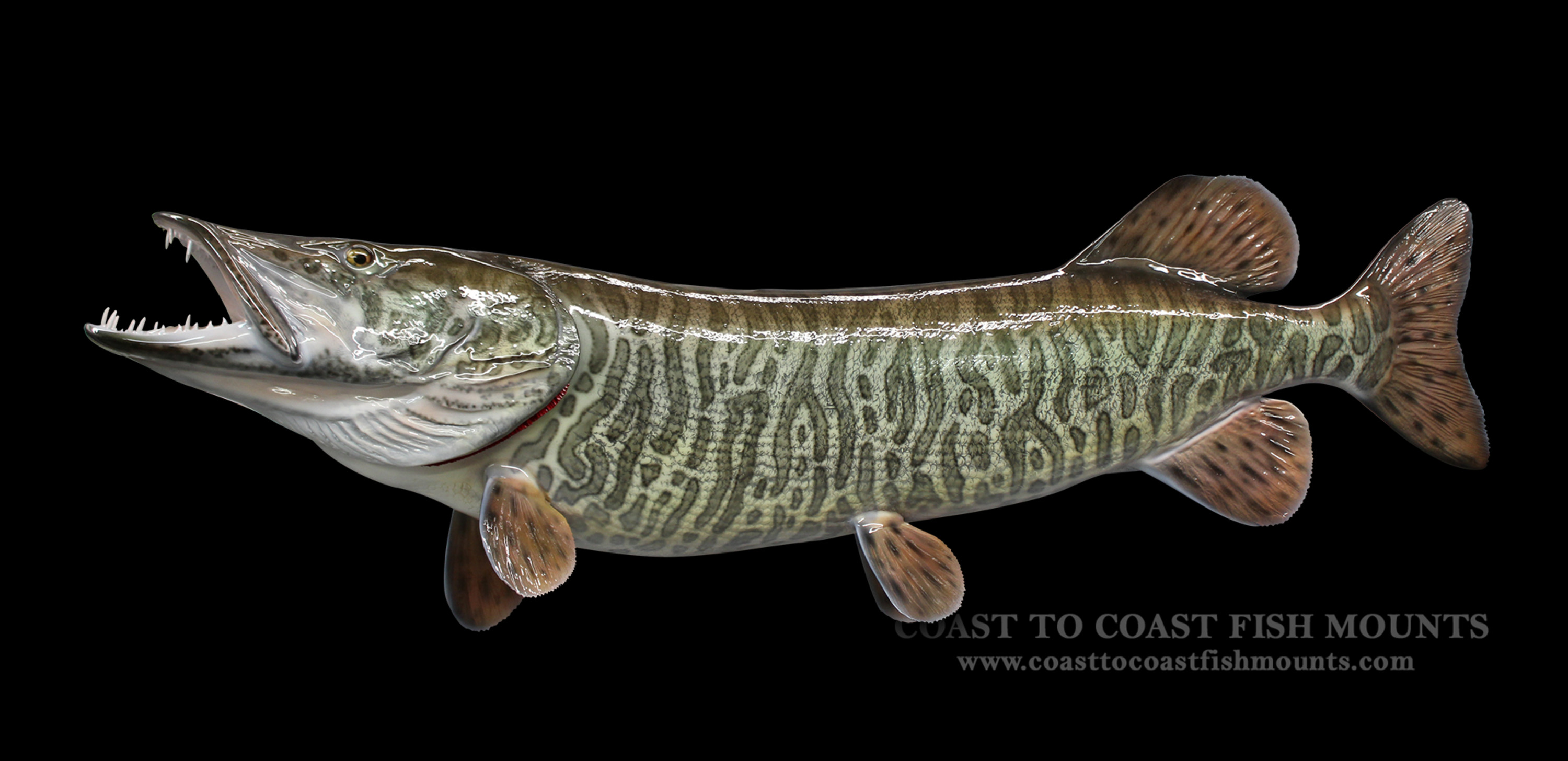 Muskie fish mount and fish replicas coast to coast for Replica fish mounts