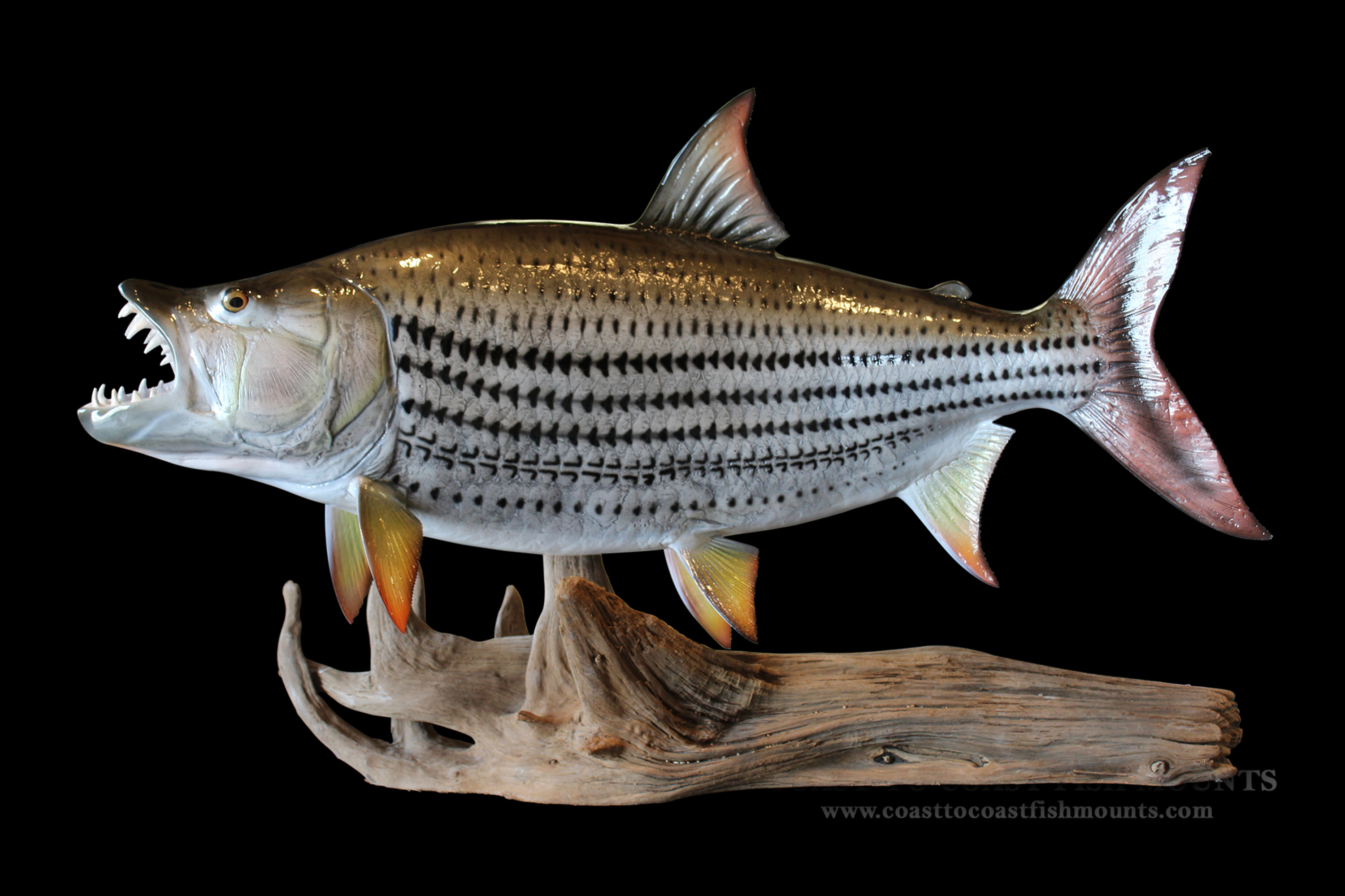 Tigerfish fish mount and fish replicas coast to coast for Replica fish mounts