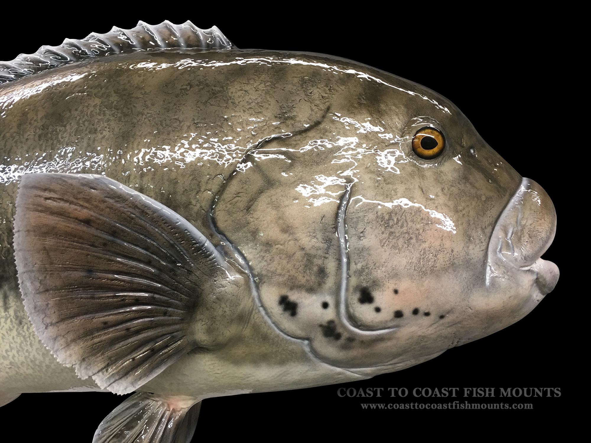 Blackfish Fish Mount and Fish Replicas | Coast-to-Coast