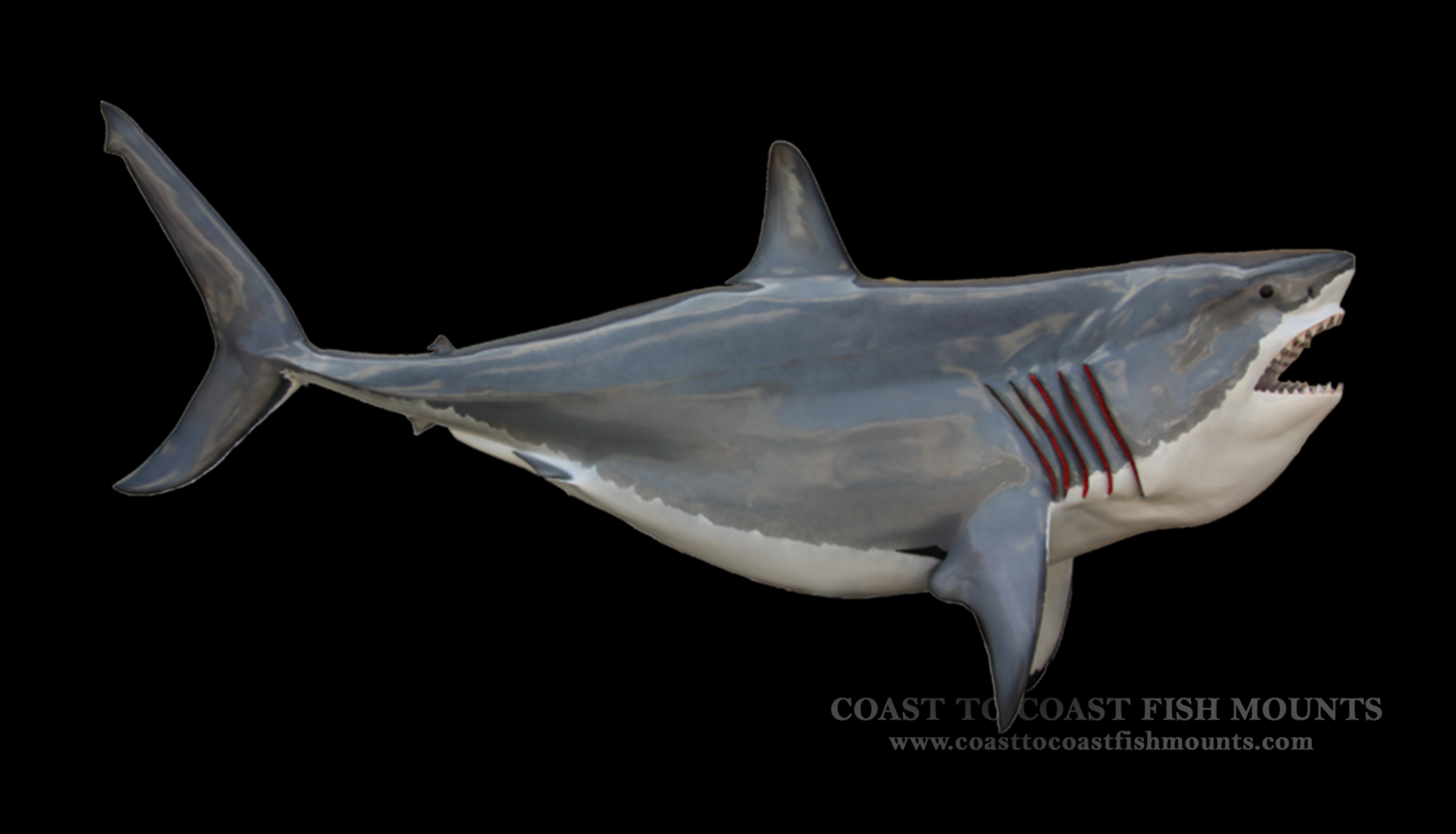 Great white shark fish mount and fish replicas coast to coast great white shark fish mount altavistaventures Image collections