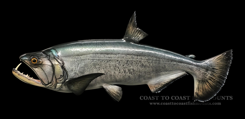 Payara fish mount and fish replicas coast to coast for Replica fish mounts