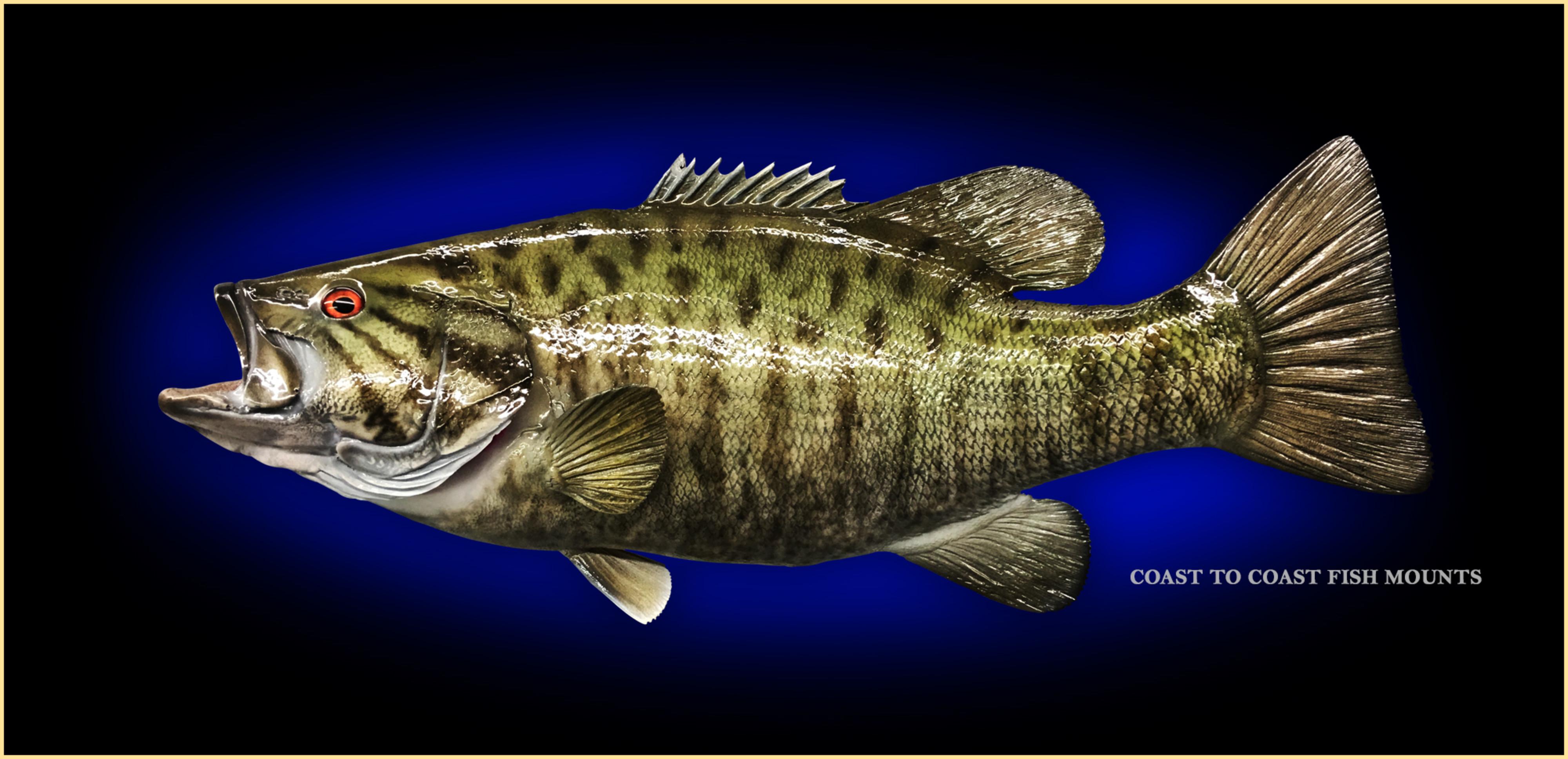 Smallmouth Bass Fish Mount and Fish Replicas | Coast-to-Coast