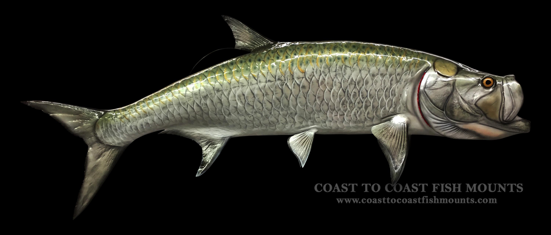 Tarpon fish mount and fish replicas coast to coast for Replica fish mounts