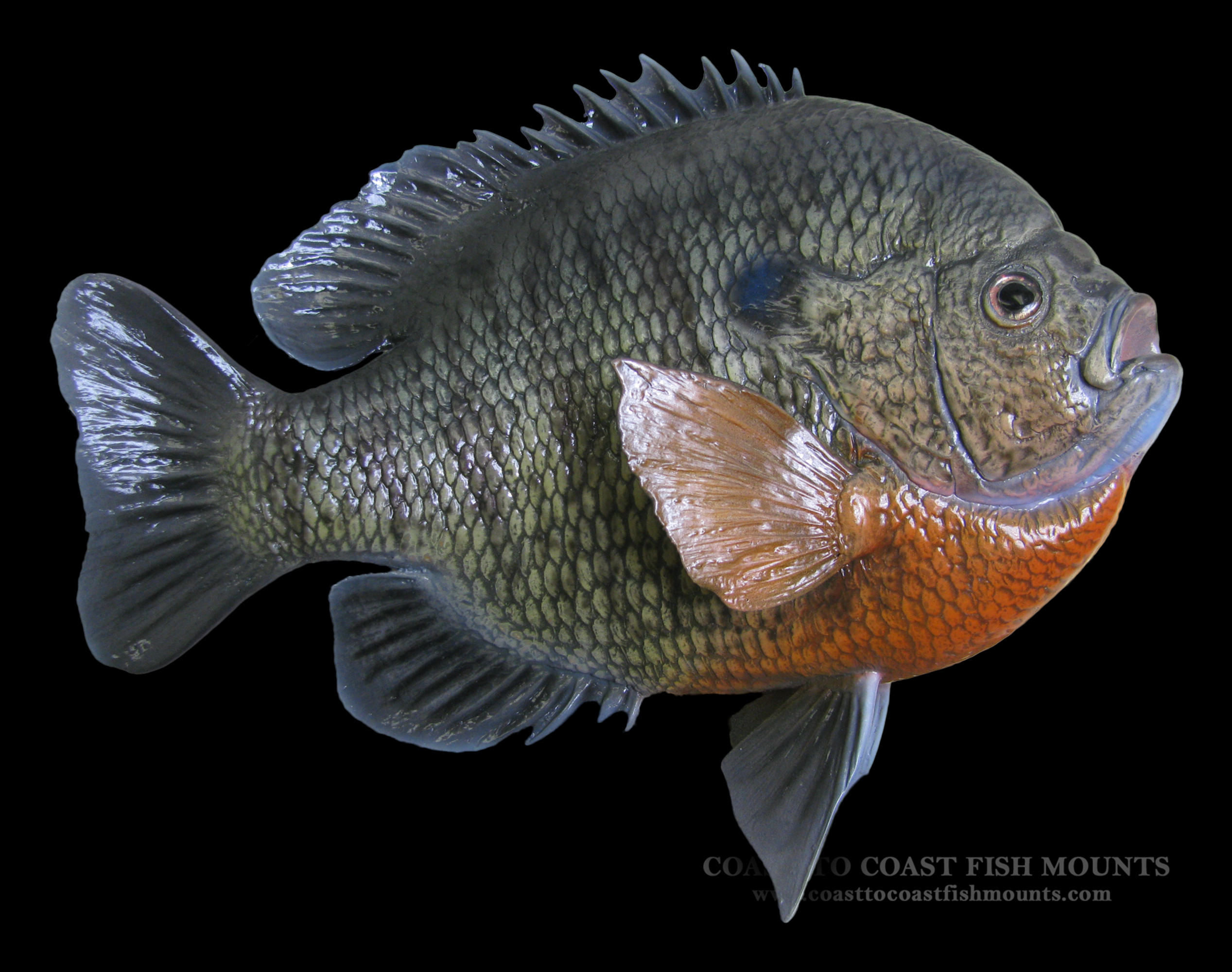 Bluegill fish mount and fish replicas coast to coast for How to mount a fish