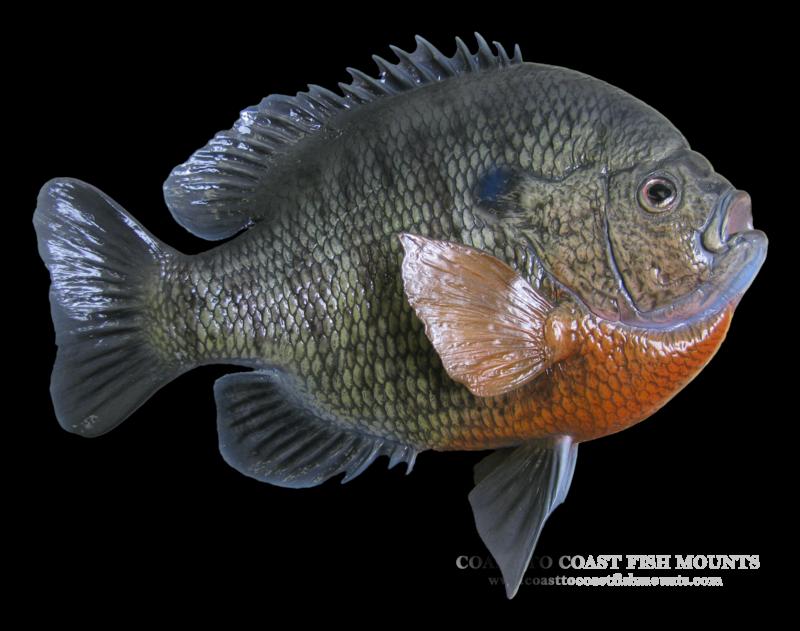 Bluegill Fish | Bluegill Fish Mount And Fish Replicas Coast To Coast