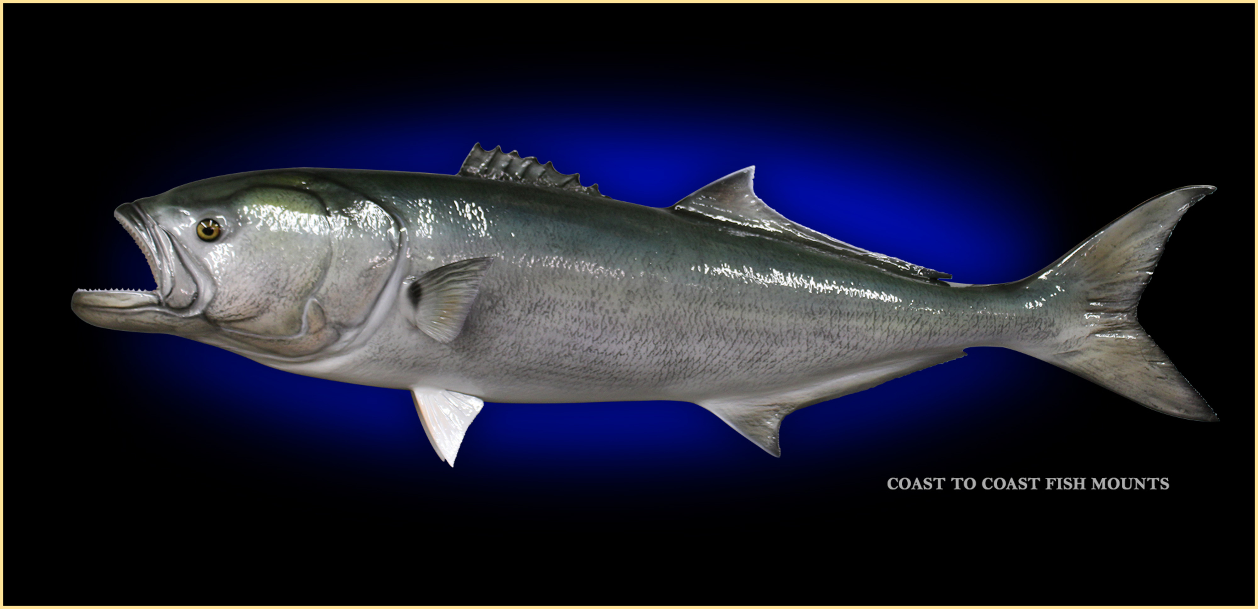 Bluefish fish mount and fish replicas coast to coast for Fish is fish