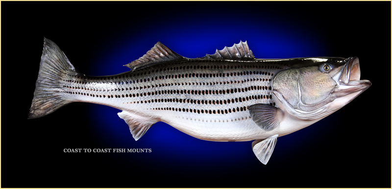 Striped bass fish mount and fish replicas coast to coast for Bass fish for sale