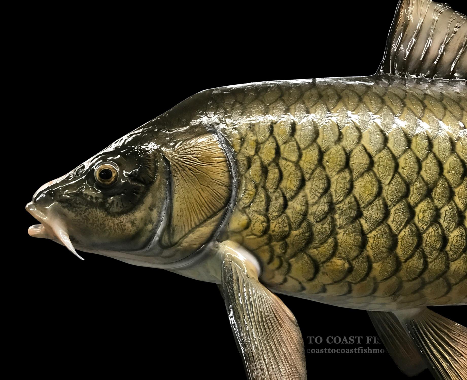 how to catch common carp