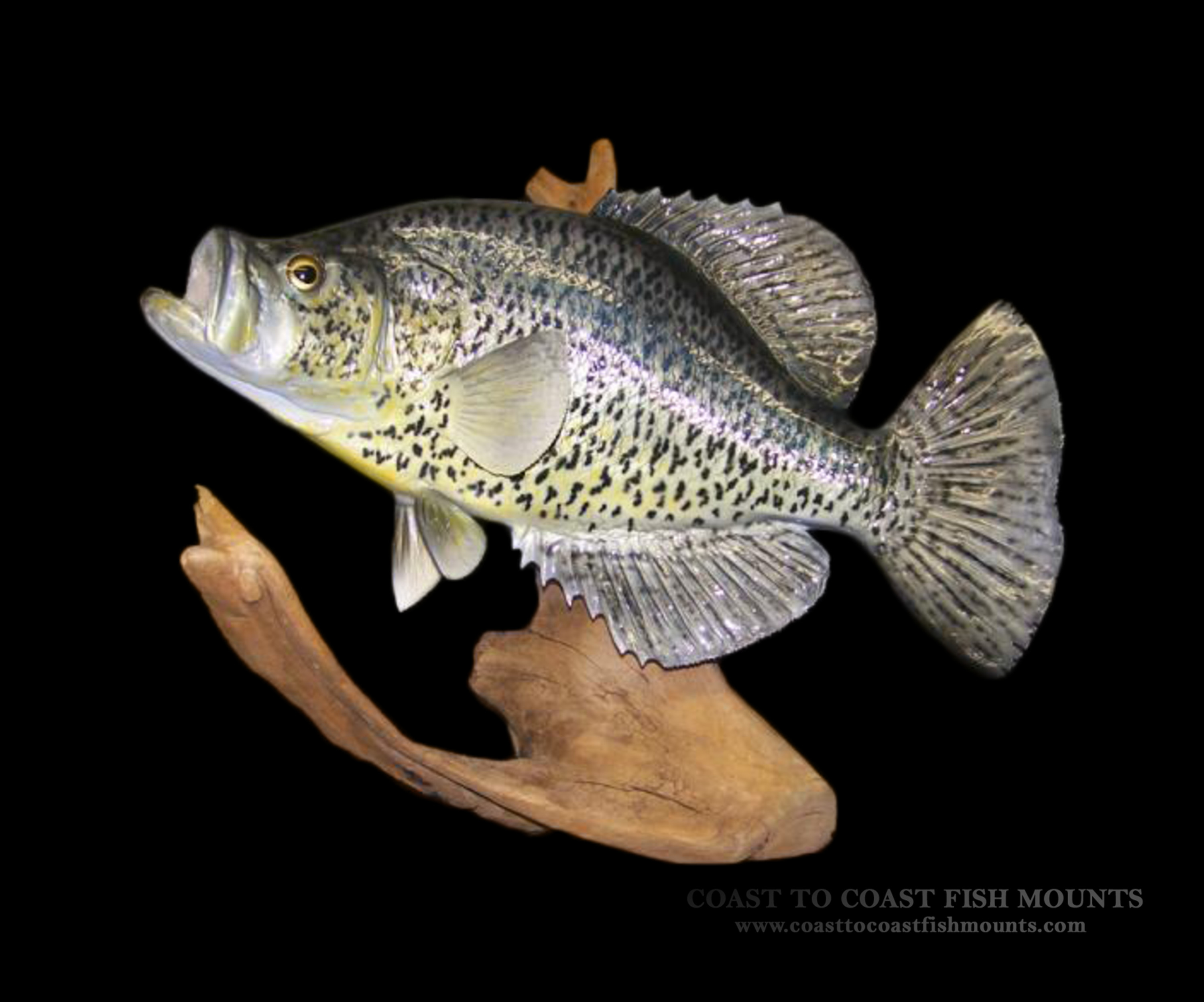 calico bass crappie fish mount and fish replicas coast