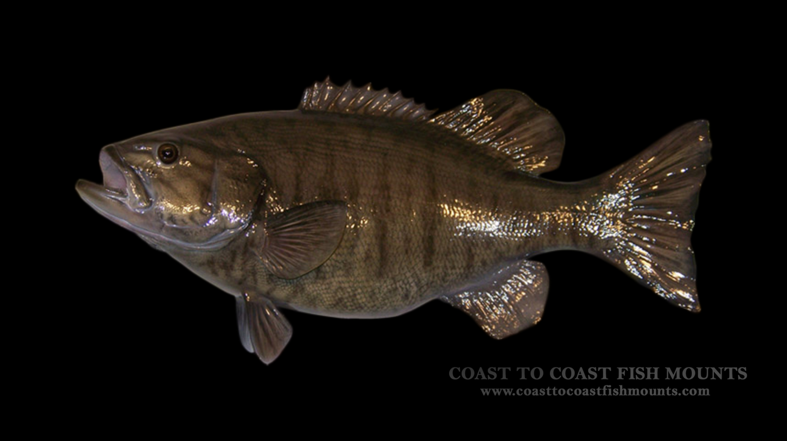Smallmouth bass fish mount and fish replicas coast to coast for Mount this fish company