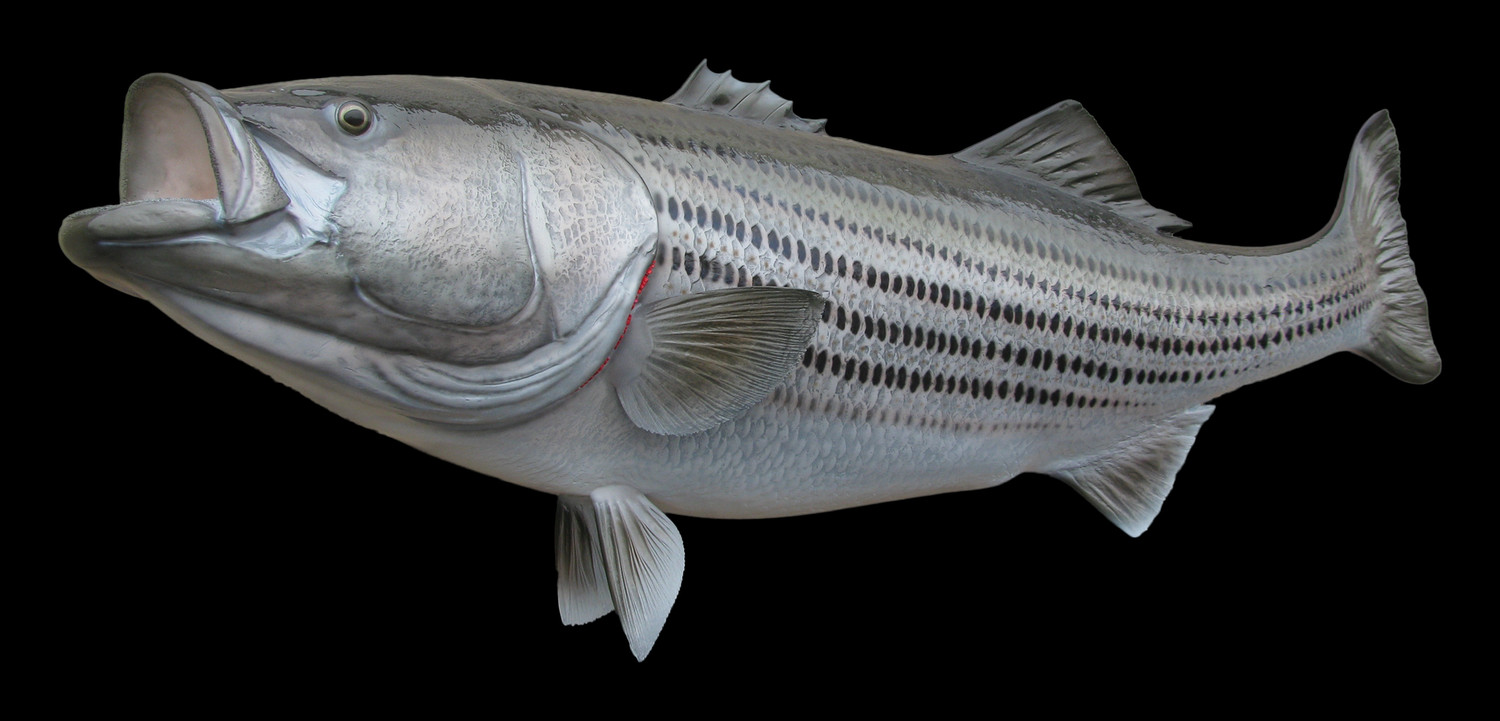 Striped bass fish mount and fish replicas for Replica fish mounts