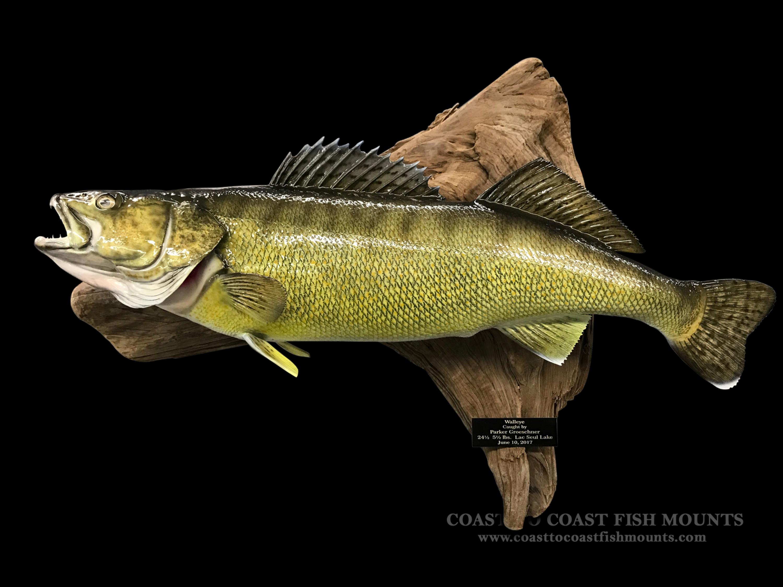 Walleye fish mount and fish replicas coast to coast for Replica fish mounts