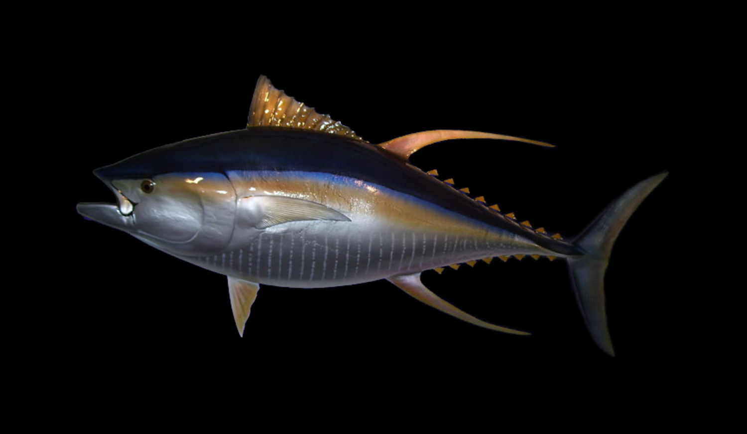 Yellowfin tuna fish mount and fish replicas for What does a tuna fish look like