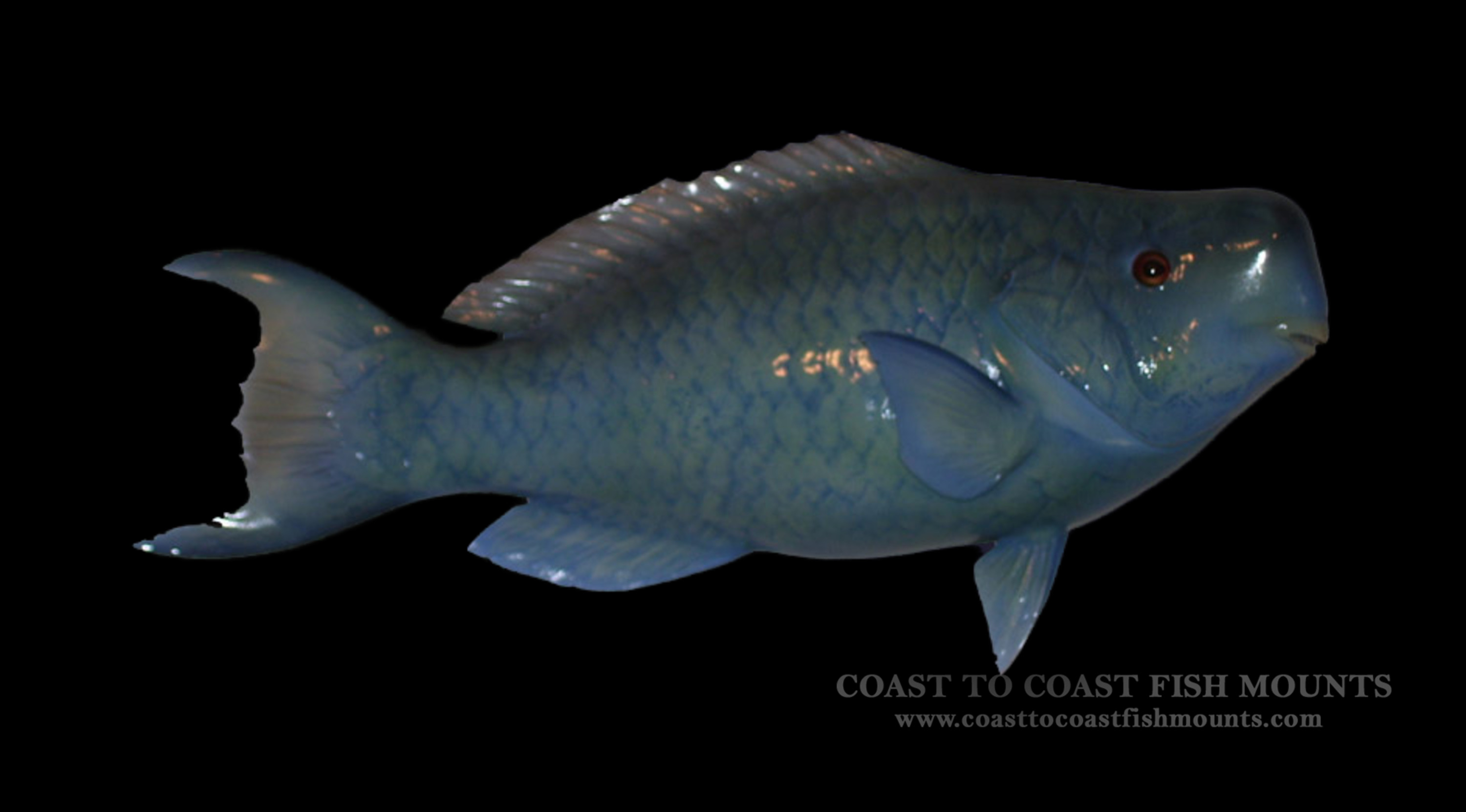 Blue parrot fish fish mount and fish replicas coast to coast for Blue parrot fish