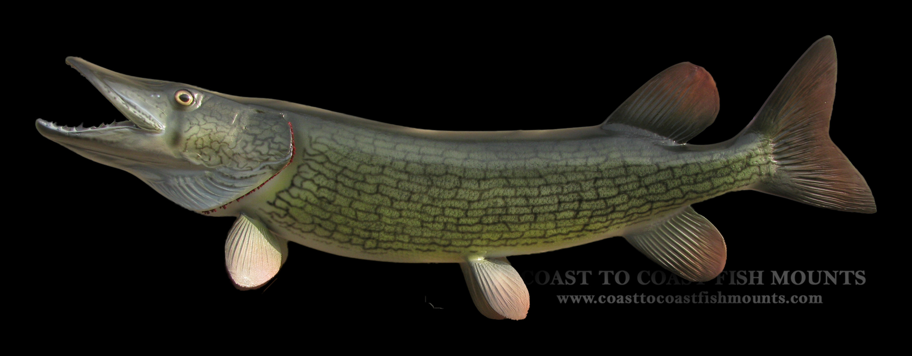 how to clean a pickerel fish