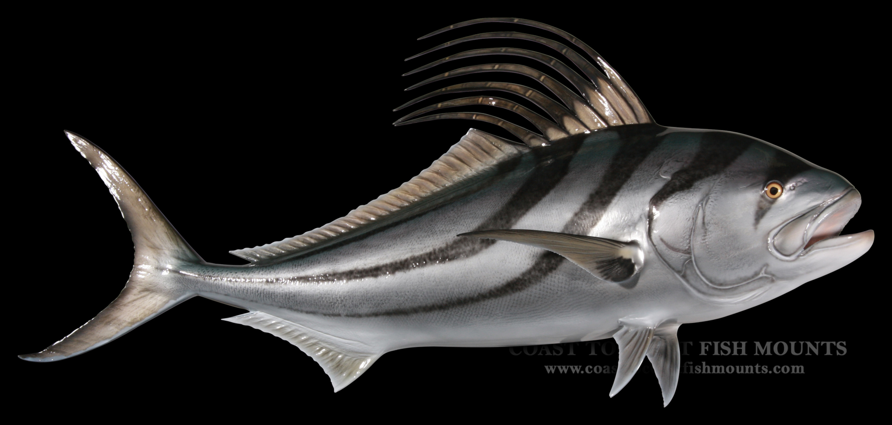 Roosterfish fish mount and fish replicas coast to coast for Replica fish mounts