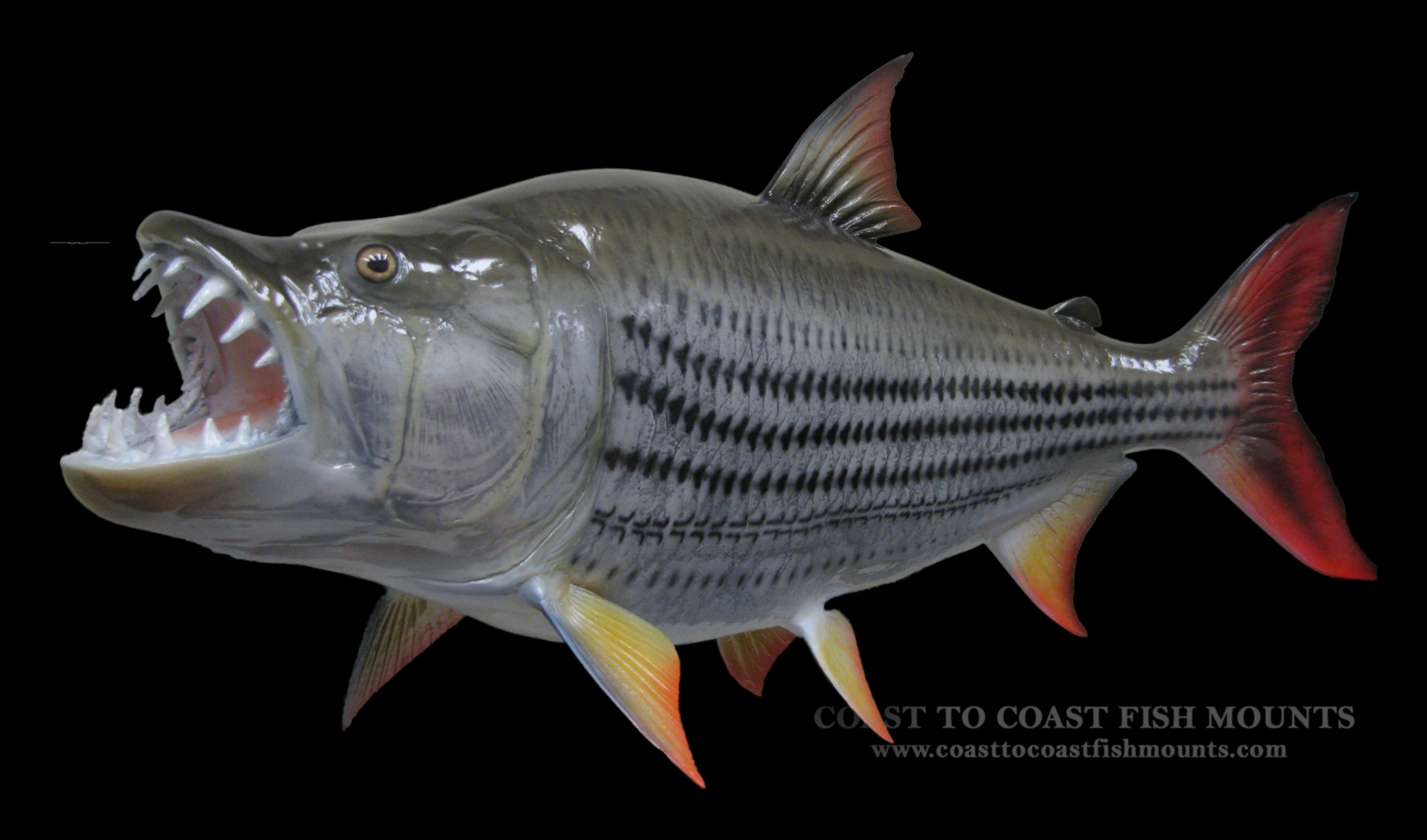 Tigerfish fish mount and fish replicas coast to coast for Fish is fish